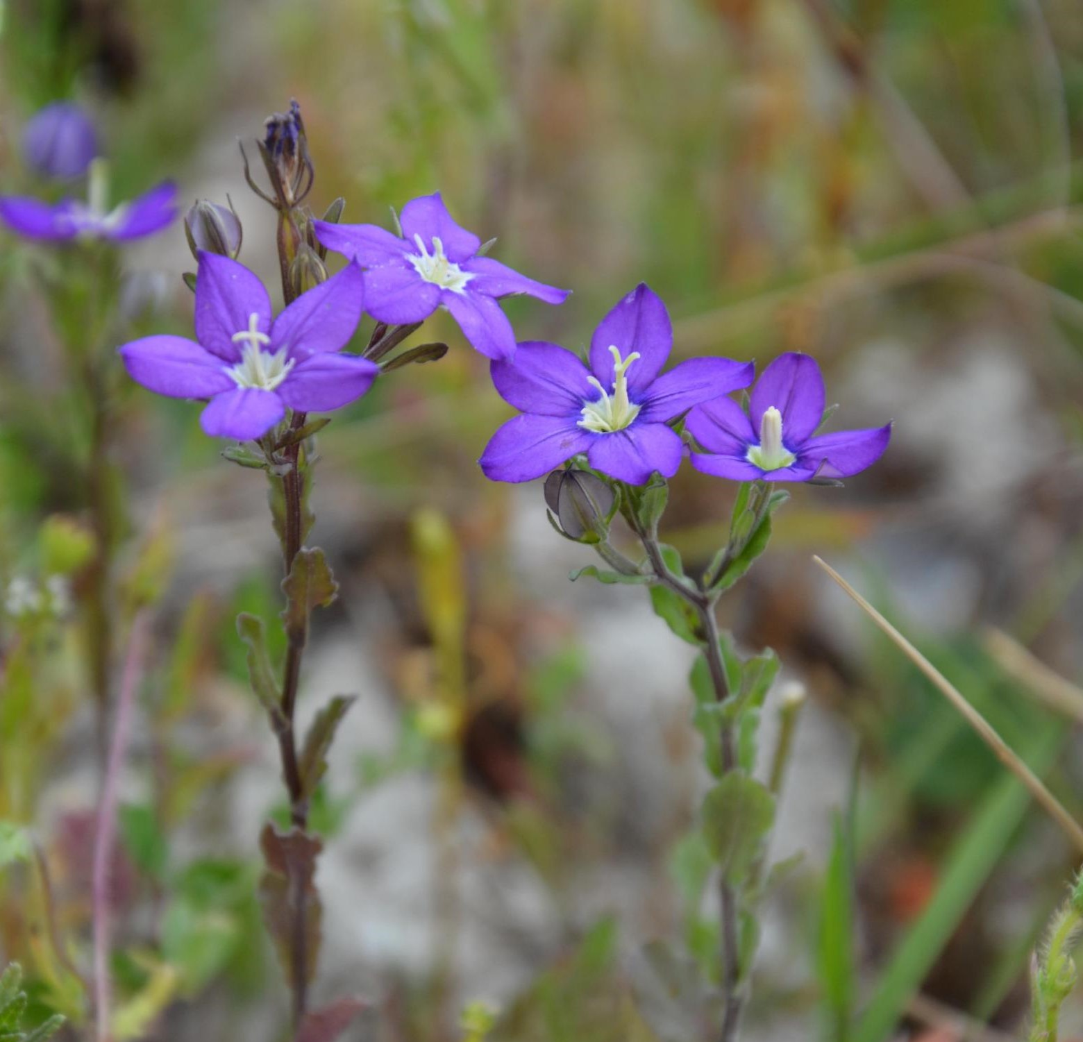 La liste des plantes messicoles de Normandie est en ligne